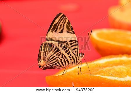 A pretty Zebra butterfly lands at the buffet table in the gardens for a bite to eat.