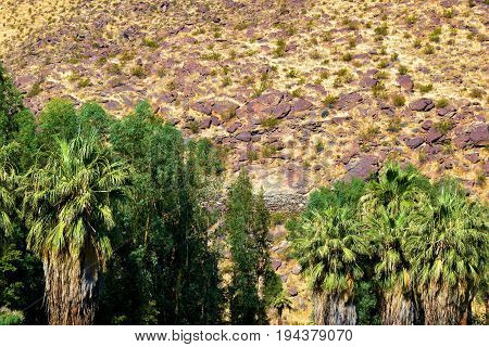 Desert oasis with Palm Trees and plants surrounded by an arid, rugged, and desolate landscape taken in Palm Springs, CA