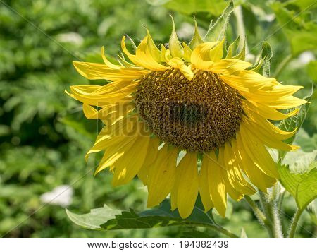 Close up on Sunflower. Sunflower field. Sunflower oil industry concept