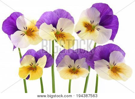 pansy flowers on white background close up