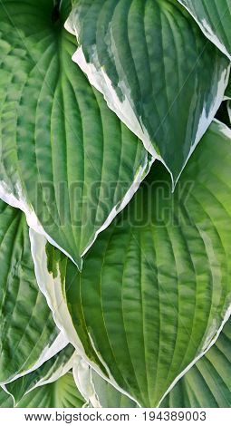 Beautiful bright green and white leaves of hosta