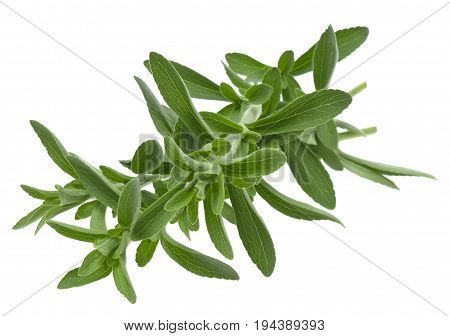 fresh stevia rebaudiana isolated on white background