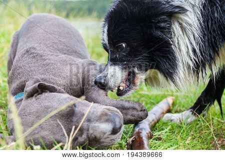 Border Collie shows his teeth to a young Pitbull