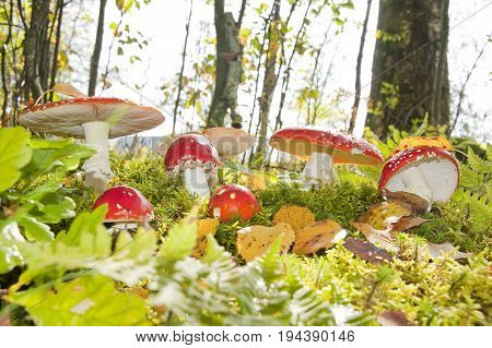 red fly agaric mushrooms in a forest