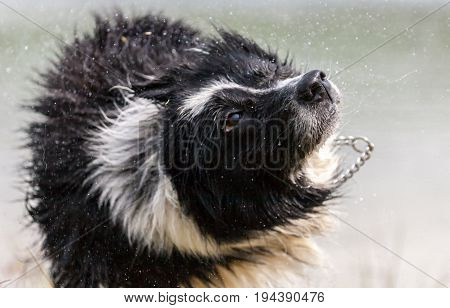 border collie dog shakes himself after water swimming