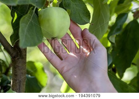 Woman hand picks a green apple from an apple tree branch with leaves. Harvest ripe fruit autumn concept