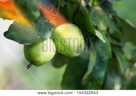 Green apples grow on apple tree branch with leaves under sunlight close-up. Ripe apples on the tree in nature