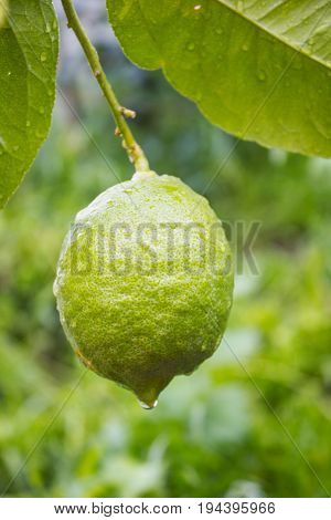 A green lemon on a branch is covered with dew