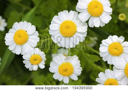 Chrysanthemums With Small Flowers