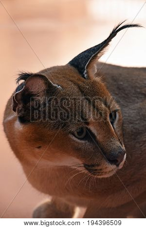 Close Up Side Profile Portrait Of Caracal