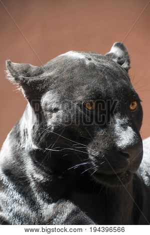 Close Up Side Portrait Of Black Jaguar Panther