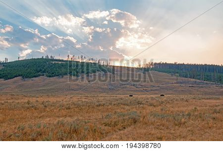 Bison silhouettes below Sunbeams and sunrays through sunset clouds in the Hayden Valley in Yellowstone National Park in Wyoming USA