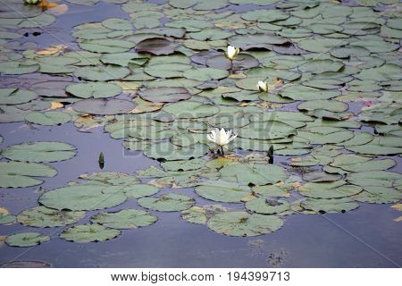 American white water lilies (Nymphaea odorata) bloom on the surface of a retention pond in Plainfield, Illinois during June.