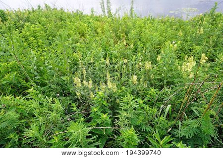 Canadian milkvetch (Astragalus canadensis) blooms in Plainfield, Illinois during June.