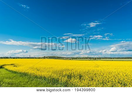 Rapeseed Field And Blue Sky With Clouds On A Sunny Day