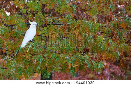 White cockatoo in an autumn tree