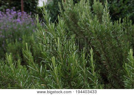 Rosemary - Rosmarinus officinalis (green), Harnes, Lens, Pas-de-Calais, Nord-Pas-de-Calais, Hauts-de-France, France