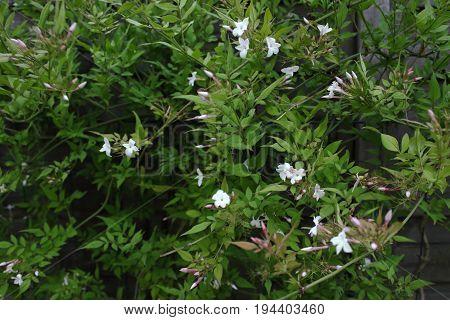 Jasmine - Jasminum (green, white), Harnes, Lens, Pas-de-Calais, Nord-Pas-de-Calais, Hauts-de-France, France