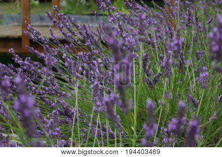 Lavender - Lavandula (blue, mauve, purple), Harnes, Lens, Pas-de-Calais, Nord-Pas-de-Calais, Hauts-de-France, France