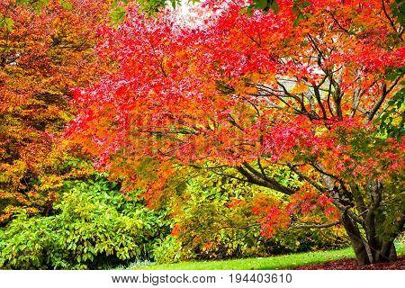 Autumn fall leaves on garden trees at Mt Tomah botanical gardens Blue Mountains Australia