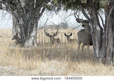 Mule Deer herd in a grove of Trees in Denver CO