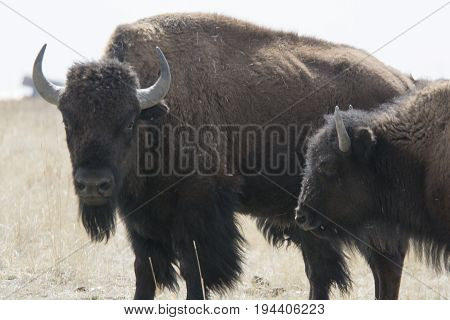 Buffalo in the Great Plains, Rocky Mountian Arsenal wildlife refuge