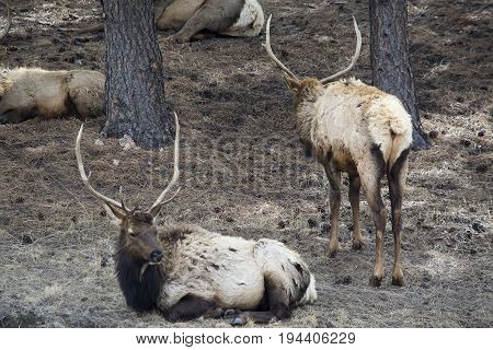 Elk resting in a grove of trees in Estes Park, CO