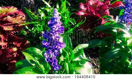 During a bight summer day. Blue and violet flower with green leaves.