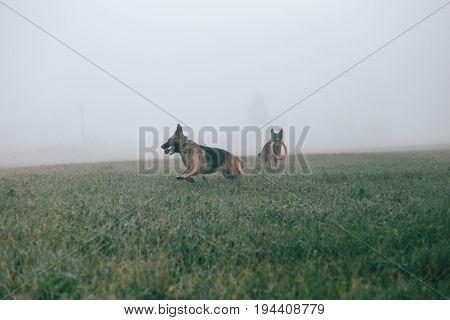 Beautyful two German shepherd dogs on the green foggy field