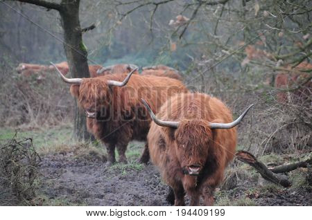 Scottish Higland Cows grazing in the Northern Province of Drenthe, in the Netherlands.