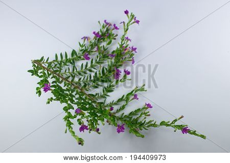 Small False Heather Flower Isolated