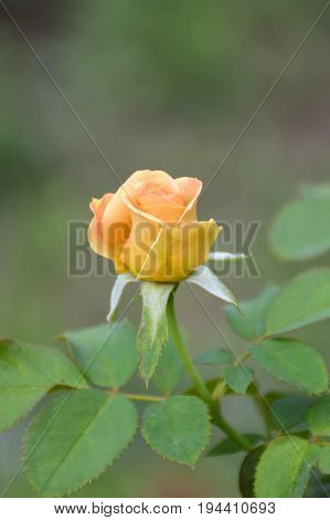 close up yellow damask rose flower in garden