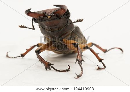 Brown Female Stag Beetle Lucanus Cervus Female Isolated On White Background, Front View