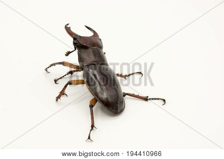 Brown Female Stag Beetle Lucanus Cervus Female Isolated On White Background, Back View