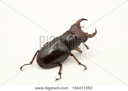 Brown Female Stag Beetle Lucanus Cervus Female Isolated On White Background, Rear View