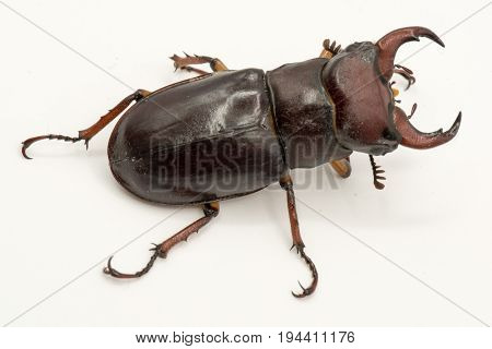 Brown Female Stag Beetle Lucanus Cervus Female Isolated On White Background, Side View