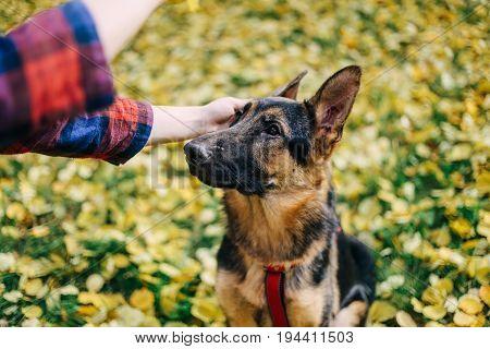 Cute beautyful puppy of German shepherd dog