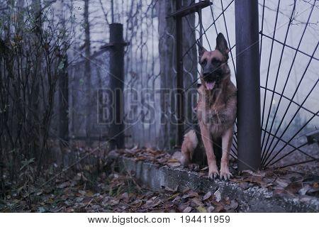 Brown German shepherd dog. Mystery and beautyful