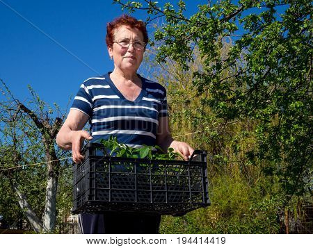 Voronezh, Russia - May 04, 2017: An elderly woman is standing with a box of seedlings