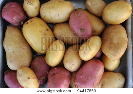 Pink and white potatoes of local varieties grown on an ecological farm using natural organic fertilizers from cow and chicken manure