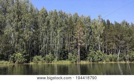 the rustle of foliage and singing of birds is audible in the birch forest