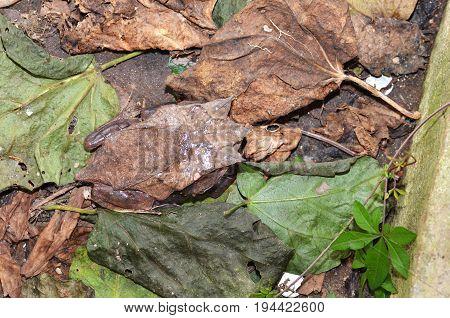 Horned Frog Resting