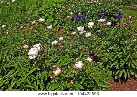 White peonies flowers in the flowerbed in the botany garden