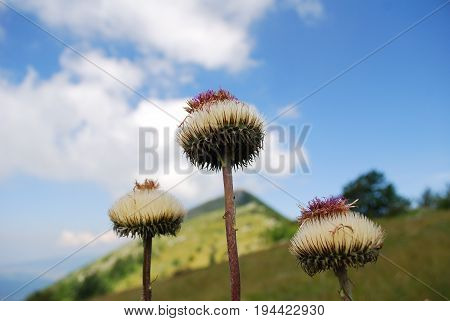 Wildflowers on mountains. Background with a flowers and mountain