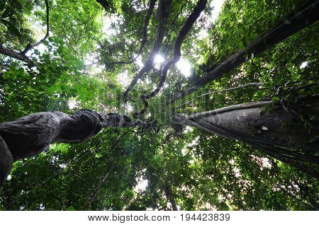 Looking Up Through Fresh Green Tree Canopy