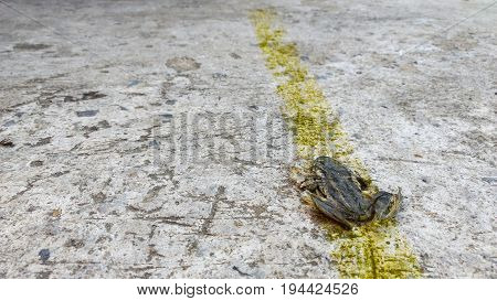 Carcasses of little frog on the road with yellow traffic line sign selective focus.