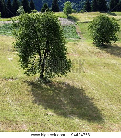Big Cherry Tree In The Middle Of The Meadow