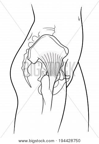 The internal structure of the human pelvic belt gluteus minimus muscle side view. On a white background