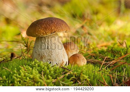 Mushrooms Bolete fungus in the wild (Boletus pinophilus)  in the forest , Autumn