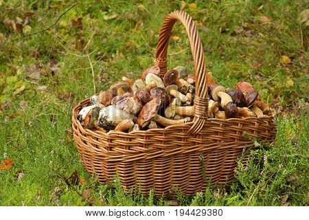 Mushrooming wicker basket full of mushrooms in the forest